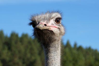 В личном подсобном хозяйстве Усть-Катава держат страусов